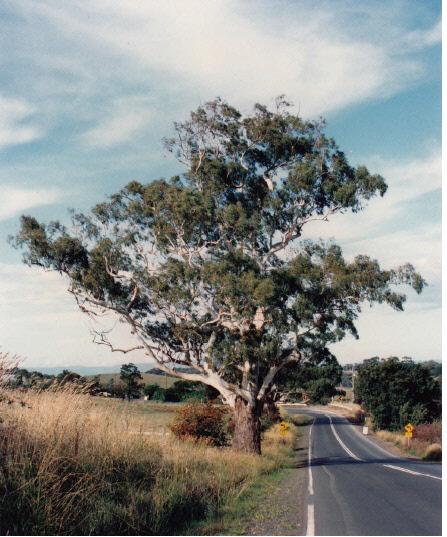 Remnant Manna Gum on Roadside Eltham Yarra Glen Rd Colour 1 - Shire of Eltham Heritage Study 1992