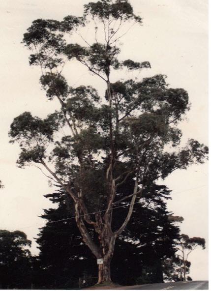 Eucalyptus cladocalyx Eltham Yarra Glen Rd Colour- Shire of Eltham Heritage Study 1992