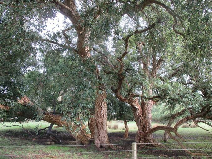 Cork trees (H10)