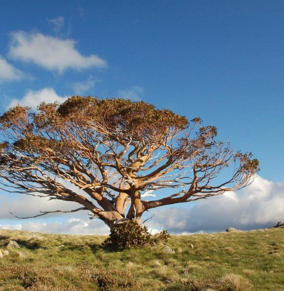 Snow Gum, Mt Stirling 01
