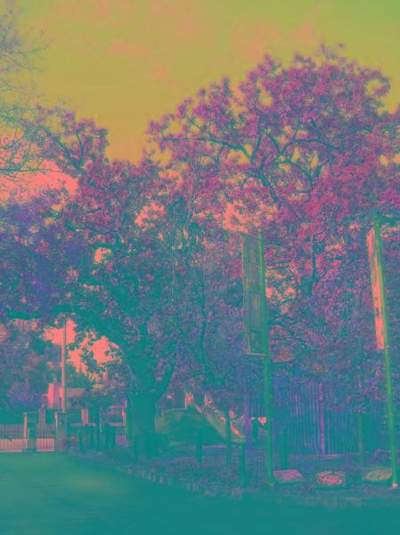 2017_c1920s oak trees.jpg